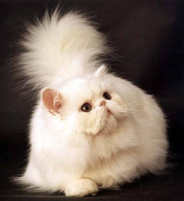 Существует около 200 пород кошек, признанных и зарегистрированных