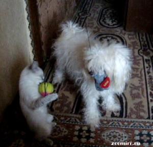 Китайская хохлатая и сиамская кошка
