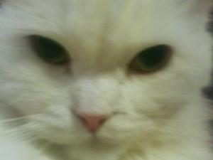 Почему кошки мурлыкают