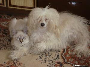 Сиамская кошка и китайская хохлатая