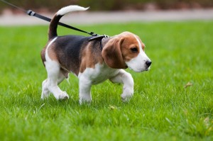 dressirovka щенка