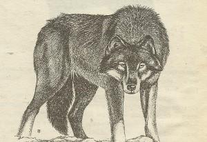 Индийский волк-предок немецкой овчарки