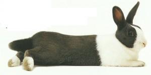 Домашний кролик