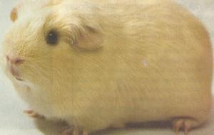 Английская морская свинка