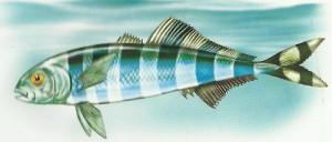 Акулья свита