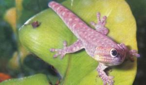Дневные гекконы