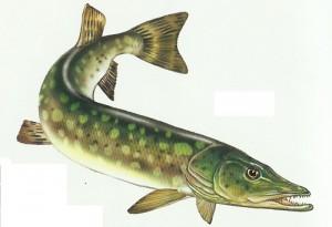 рыба картинки щука