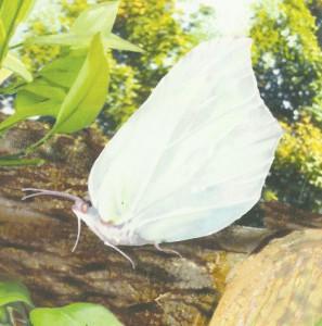 Стадии развития бабочек