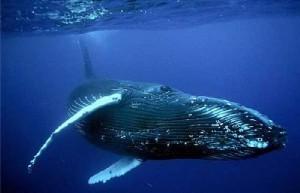 О чем поют киты