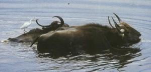 Водяной буйвол