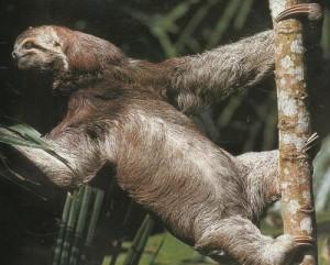 Ленивцы