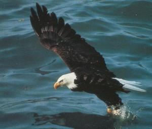 Беорплечий орлан