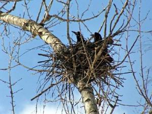 Гнездо грачей