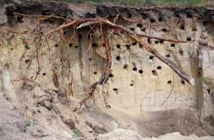 Гнезда береговых ласточек