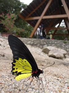 Бабочки,похожие на птиц