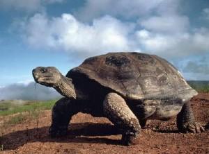 Черепахи-исполины