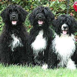 Водяные собаки