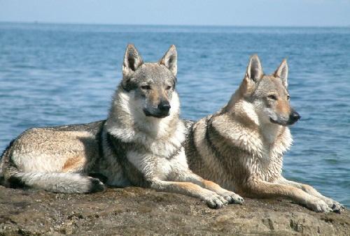 Чехословацкий влчак (Чехословацкий вольфдог, чехословацкий вольфхунд, чешский волчак, чехословацкая волчья собака).