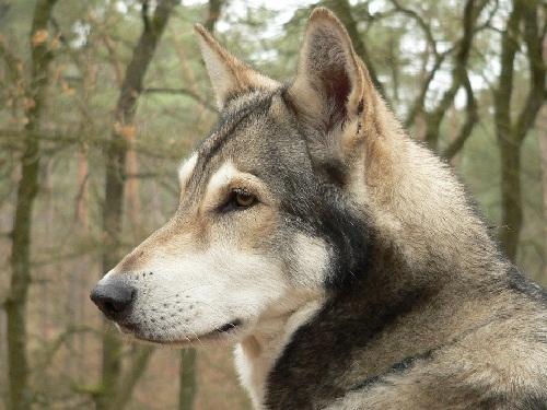 Сарлосская волчья собака