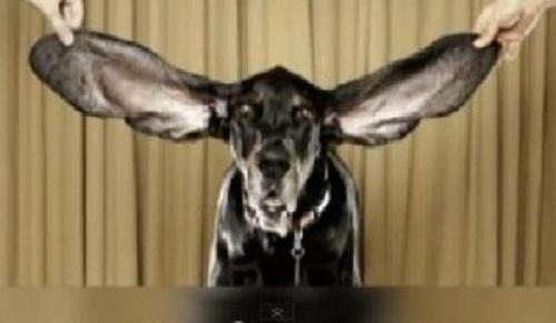 Харбор и длинные уши