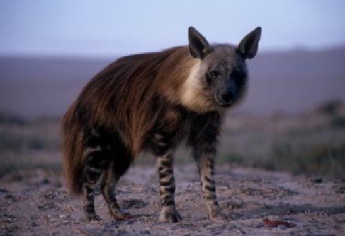Бурые гиены
