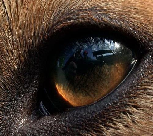 Собачий глаз имеет три века