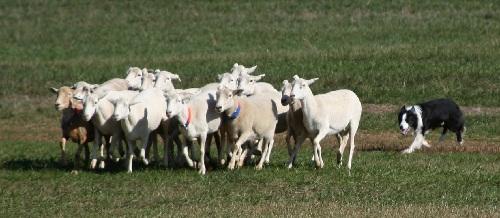 Лучший пастух