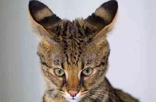 Кошачьи уши-локаторы