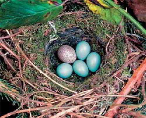 Яйцо кукушки в чужом гнезде
