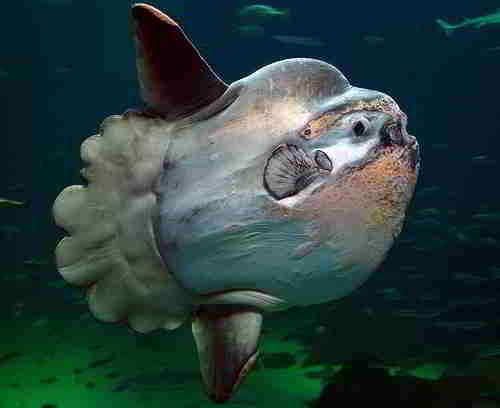 Редкая рыба-луна