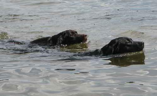 Лабрадоры-отличные пловцы