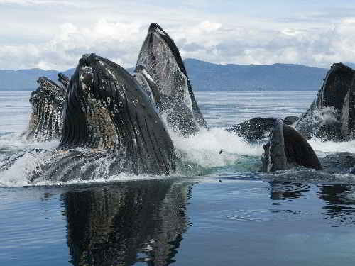Голубые киты могут пошуметь