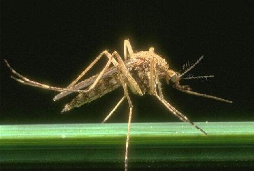 """""""Зубастые"""" комары"""