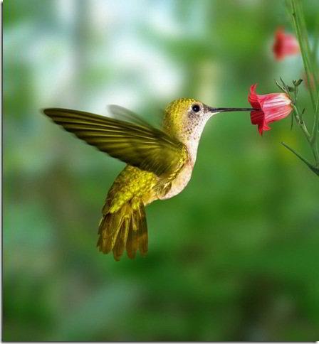 Птичка Hummingbird-колибри
