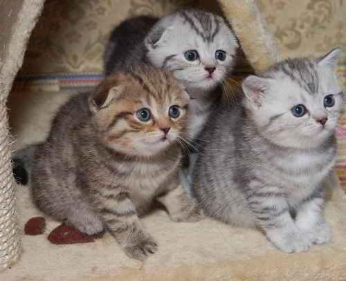 Висячие и стоячие ушки у котят