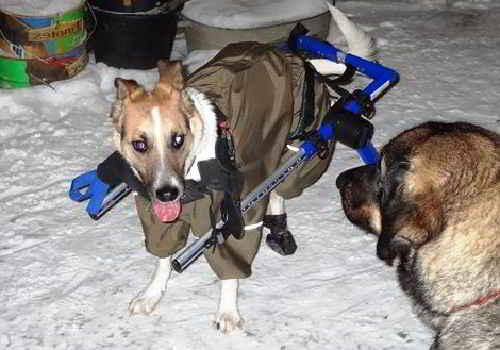 Песик инвалид