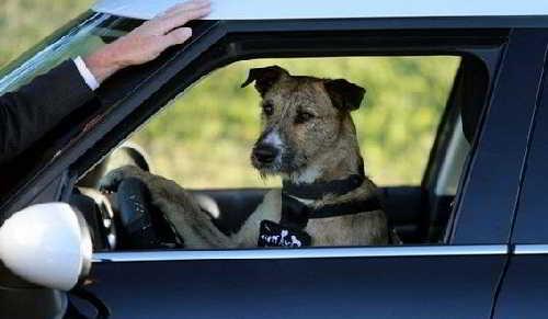 Четвероногий водитель