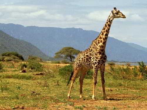 Самое высокое животное планеты