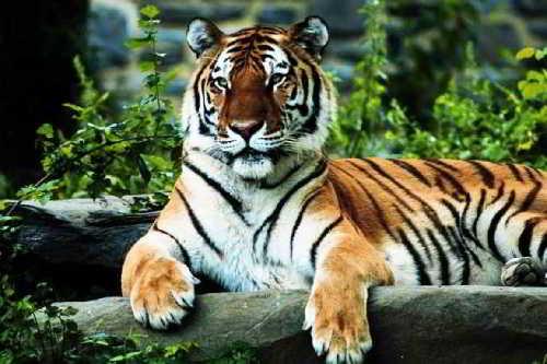 У тигра и кожа полосатая