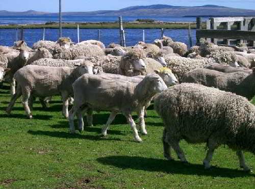 Царство овец
