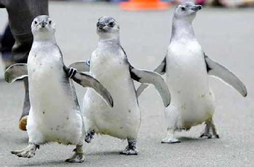 Пингвин-ходить и плавать может,а летать-нет