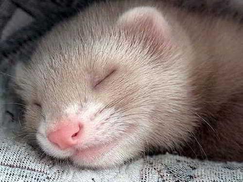 Спящий хорек