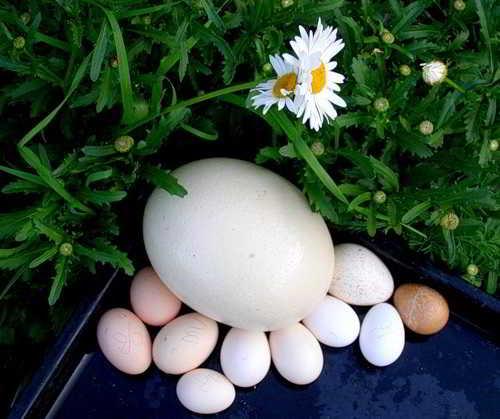 Из яйца страуса получается 15 омлетов!