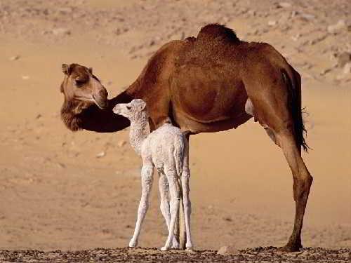 А позвоночник -то прямой у верблюда