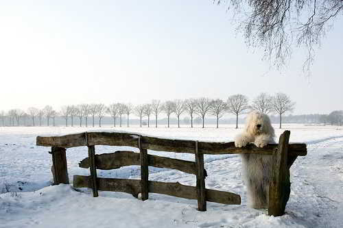 Староанглийская овчарка