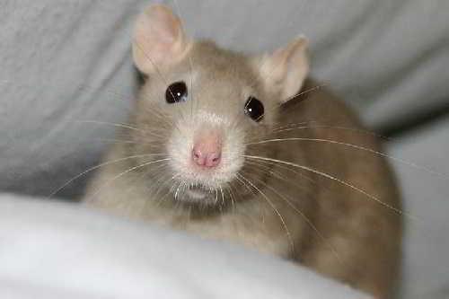 Человечество отстает от крыс на 45 миллионов лет