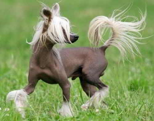Китайская хохлатая собака (голая)