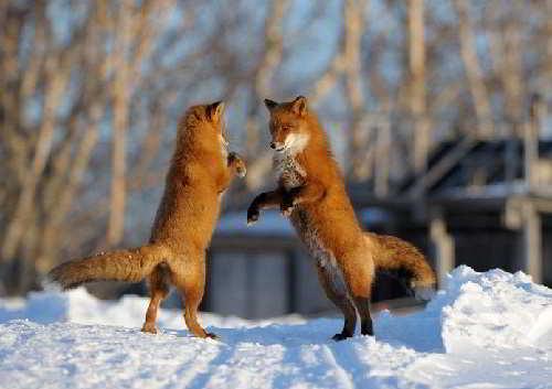 Лисицы в Кроноцком заповеднике