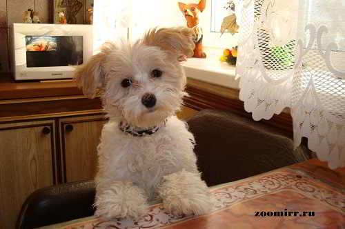 Щенок китайской хохлатой собаки-Лялечка