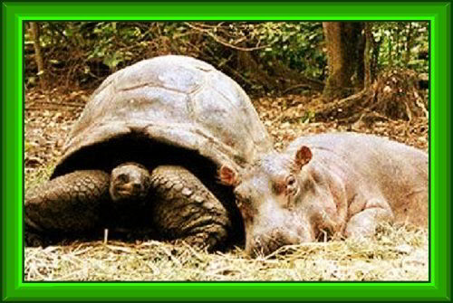 Большая черепаха с другом